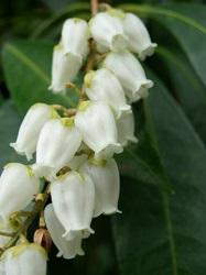 アセビの花