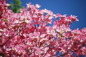 ハナミズキの花